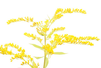 goldenrod flower on a white background