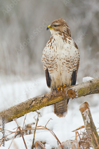 Common buzzard on an old textured branch