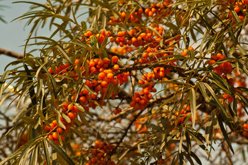 bright orange sea-buckthorn berries