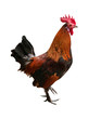 brown rooster standing on one leg