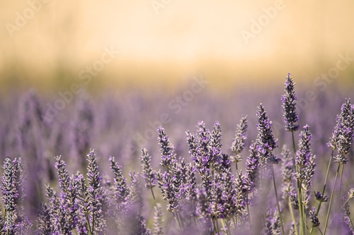 Summer Meadow with Flower. Lavender. - 44549879