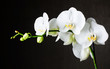 Fototapeten,orchidee,weiß,blume,dark background