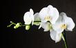 Fototapeten,orchid,weiß,phalaenopsis,blume
