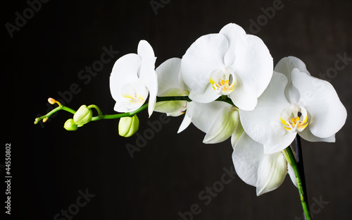 Close-up of white orchids (phalaenopsis) against dark background