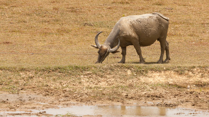 Large water buffalo grazing