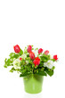 a bouquet of red tulips and Helleborus in a green flower pot iso