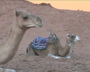 Верблюды бедуинов в Сахаре.