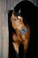 Trakehner stallion in the barn