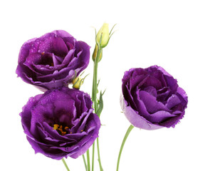 purple eustoma on white background
