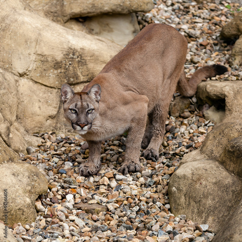 Poster Puma Puma on Rock Crouching Ready to Pounce