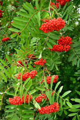 Bright rowan berries