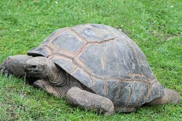 1301006 - Riesenschildkröte