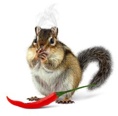 Funny chipmunk eating hot pepper
