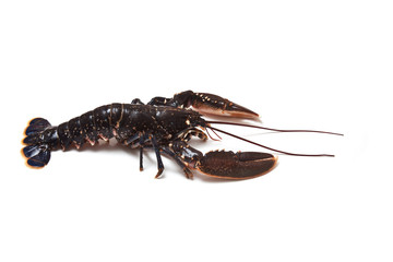 Lobster isolated on a white studio background.