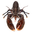 Fresh lobster (European Common)