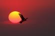 Sunset Cormorant