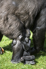 Baby Gorilla Clasping Mother's Leg