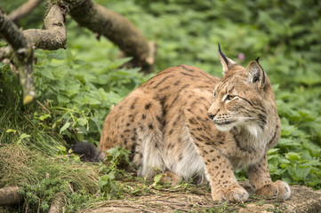 Lynx Crouched on a Rock