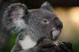 Fototapeta australia - twarz - Inne