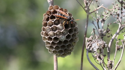 Wasp in its nest