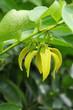 Ylang-Ylang Flowers (Cananga odorata (Lamk.) Hook.f. et Th.)