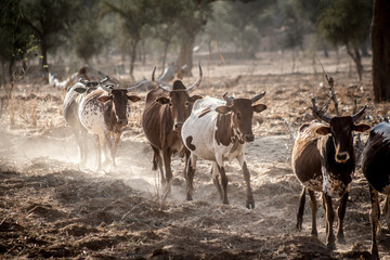 Cows grazing in the dust.