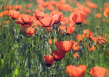 Field of poppy flowers at sunset