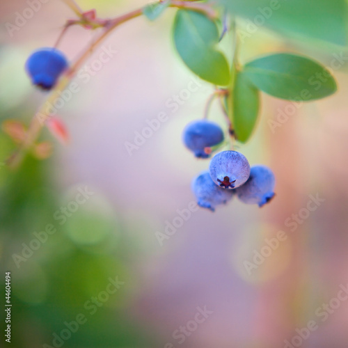 borówka jagoda borówki jagody amerykańskie niebieskie owoc krzak