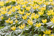 canvas print picture - Winterling (Eranthis hyemalis)