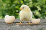 Fototapety Small chicks and egg shells