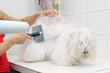 sortie de bain pour un coton de tuléar  # 28