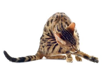 bengal cat washing