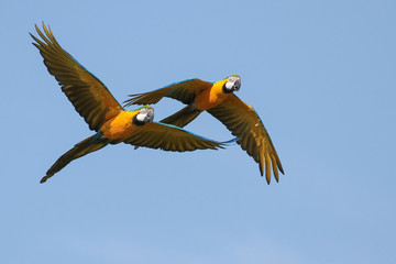Macaws in Flight 2