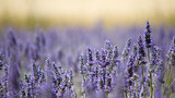 Fototapety Lavender flower field. Close up. France.