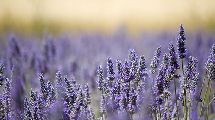 Lavender flower field. Close up. France.