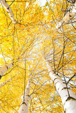 Fototapety Autumn trees with yellowing leaves against the sky