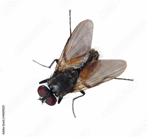 macro fly isolated on white background