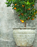 Tangerine tree in old clay pot