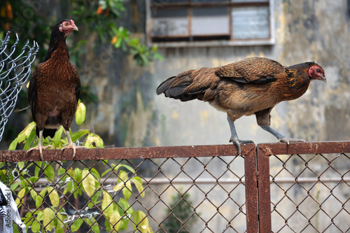 Hens on fence