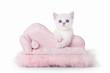 small silver british kitten on pink divan on white background