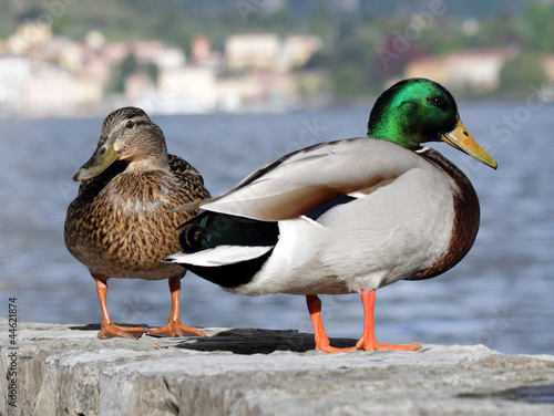 male and female mallard ( wild duck ) on lake Como, Italy, Europ