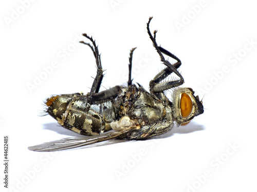 Dead fly isolated on white(Sarcophaga carnaria)