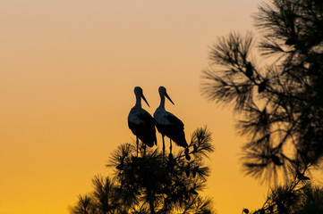 waiting for sunset, two storks