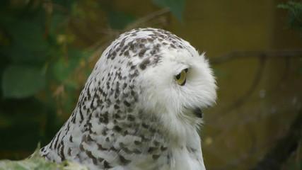 HD - Snowy Owl