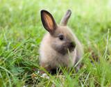 Fototapety Rabbit in grass