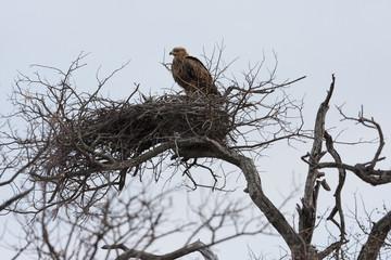 Adler im Nest