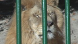 Beautiful lion among bars
