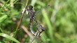 Kleine Moosjungfer - Leucorrhinia dubia - Paarungsrad