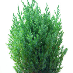 Juniper (Juniperus chinensis Stricta)