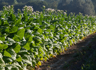 Bright leaf tobacco field border
